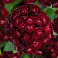 Dash Crimson (Dianthus Pellets)