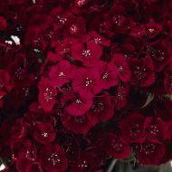 Sweet Red (Sweet William/hybrid)
