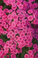 Jolt Pink (Dianthus Pellets)