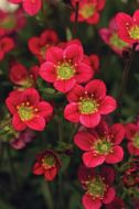 Rocco Red (Saxifraga Pellets)