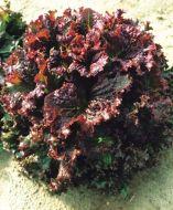 Red Express M.I. (Lettuce/looseleaf/pelleted)