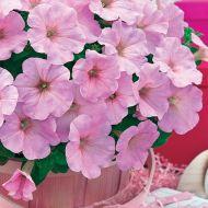 Trilogy Pink Lips (Petunia/multiflora/pelleted)