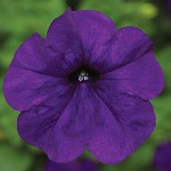 Fotofinish™ Blue (Petunia/multiflora/pelleted)