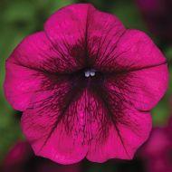 Fotofinish™ Burgundy (Petunia/multiflora/pelleted)