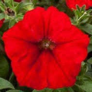 Fotofinish™ Red (Petunia/multiflora/pelleted)