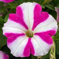 Fotofinish™ Rose Star (Petunia/multiflora/pelleted)