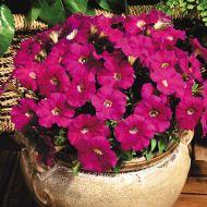 Picobella™ Carmine (Petunia/pelleted/milliflora)