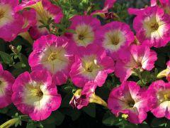 Picobella™ Rose Morn (Petunia/pelleted/milliflora)