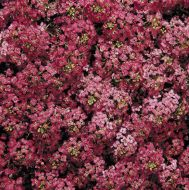 Wonderland Deep Rose (Alyssum pellets)