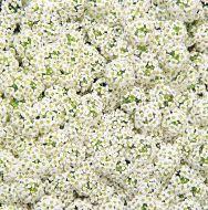 Wonderland White (Alyssum pellets)
