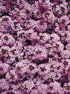 Wonderland Lavender (Alyssum pellets)