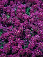 Wonderland Deep Purple (Alyssum pellets)