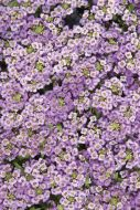 Wonderland Blue (Alyssum pellets)