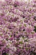 Wonderland Pink (Alyssum pellets)