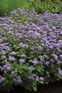 High Tide™ Blue (Ageratum/pellets/hybrid)