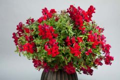 Candy Showers Red (Snapdragon/dwarf/trailing)