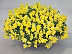 Candy Showers Yellow (Snapdragon/dwarf/trailing)