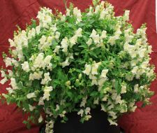 Candy Showers White (Snapdragon/dwarf/trailing)