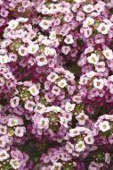 Clear Crystals Lavender Shades (Alyssum Pellets)