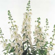 Serena White (Angelonia)