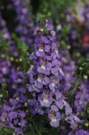 Serena Blue (Angelonia)