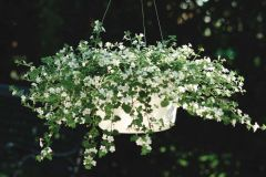 Snowtopia® (Bacopa)