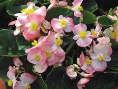 Bada Bing® Rose Bicolor (Begonia pellets/fibrous)