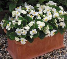 Bada Bing® White (Begonia pellets/fibrous)