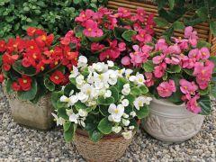 Bada Bing® Mix (Begonia pellets/fibrous)