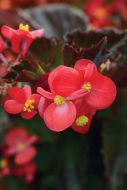 BabyWing Red (Begonia pellets/fibrous)