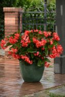 Megawatt Red Green Leaf (Hybrid Begonia Pellets)