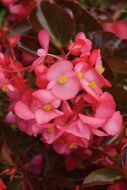 Megawatt Rose Bronze Leaf (Hybrid Begonia Pellets)