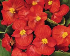 Sprint Plus Red (Hybrid Begonia Pellets)