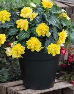 Nonstop Joy Yellow (Begonia pellets/tuberous)