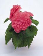 Nonstop Pink (Begonia pellets/tuberous)