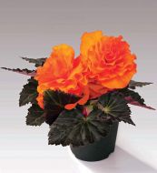 Nonstop Mocca Bright Orange (Begonia pellets/tuberous)