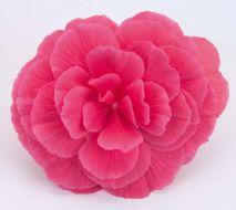Nonstop Mocca Pink Shades (Begonia pellets/tuberous)