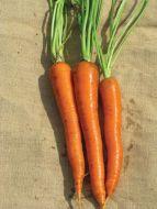 SV2384DL (Carrot/hybrid/pelleted)