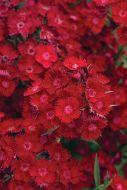 Rockin' Red (Dianthus)