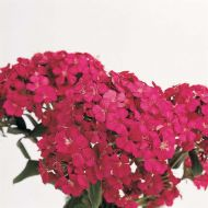 Amazon Neon Cherry (Dianthus)