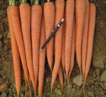 Rebel (Carrot/hybrid/pelleted)