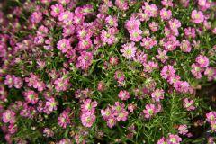 Gypsy Pink (Gypsophila Pellets)