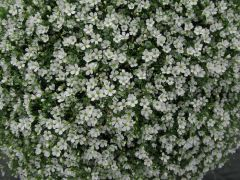 Gypsy White (Gypsophila Pellets)