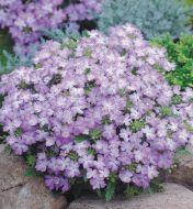 Tuscany Lavender Picotee (Verbena/primed)