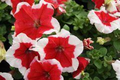 Limbo GP Red Picotee (Petunia/grandiflora/pelleted)
