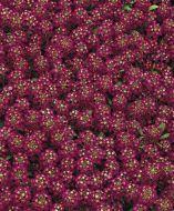 Easter Bonnet Violet (Coated Alyssum)