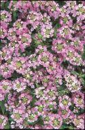 Easter Bonnet Deep Pink (Coated Alyssum)