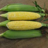 Gourmet Sweet™ Brand SC1336 Corn (Hybrid, yellow)