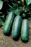 Eureka (Cucumber/pickling/untreated)