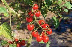 Jasper FF (Hybrid Cherry Tomato/untreated)